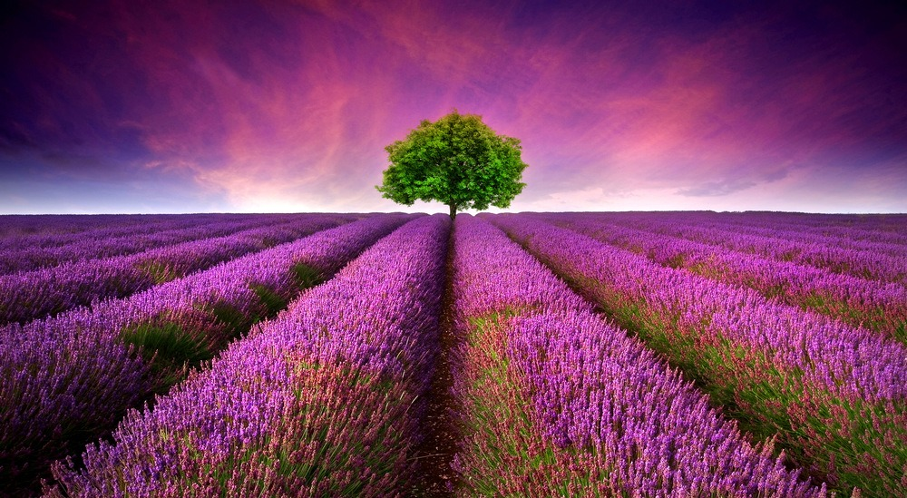 Beautiful image of lavender field for lavender essential oil.